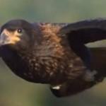 ダーウィンが来た!カラカラってどんな鳥?カラスに似てる?