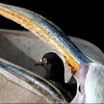 ペリカンの鳩丸呑み動画、犬や猫も食べる獰猛な生態